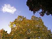English: Autumn Colours, London N14 Complementary colours of the yellow leaves and blue sky.