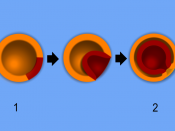 English: A scheme of embryo gastrulation.