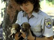 English: FWS staff with two red wolf pups bred in captivity. The red wolf is an endangered species that is currently found in the wild only as experimental populations in Tennessee and North Carolina. These carefully managed wild populations contain appro