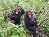 English: Young chimpanzees from Jane Goodall sanctuary of Tchimpounga (Congo Brazzaville) - Picture taken the 9th of December 2006 Français : Jeunes chimpanzés du sanctuaire Jane Goodall de Tchimpounga (Congo Brazzaville) - Photo prise le 9 décembre 2006