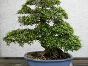 Satsuki Azalea (Rhododendron) 'Kozan'