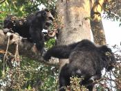English: Alpha male chimp and older jump on fig tree
