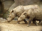English: Sumatran Rhinoceroses at the Cincinnati Zoo & Botanical Garden