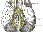 The mass is usually located at the tuber cinereum of the hypothalamus.