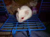Albino Hamster in cage