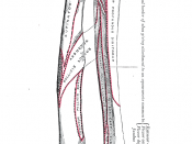 The radius and ulna of the left forearm, posterior surface.