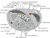 Transverse section across the wrist and digits.
