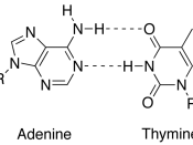 English: image of a base pair between the adenine and thymine nucleobases