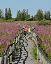 English: Purple-loosestrife, an invasive species, now dominates the Cooper Marsh Conservation Area, near Cornwal Ontraio.