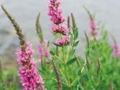 English: Purple loosestrife (Lythrum salicaria)