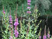 Purple loosestrife is an invasive plant deemed harmful to the watershed.