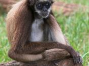 English: A critically endangered Brown Spider Monkey, Ateles hybridus, with uncommon blue eyes. Shot in captivity in Barquisimeto, Venezuela Русский: Паукообразная обезьяна Ateles hybridus с редко встречающимися голубыми глазами. Сфотографирована в неволе