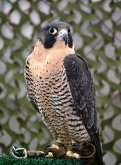 A Peregrine Falcon (Falco peregrinus) at the bird show at New York State Fair.