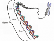 This image shows the coding region in a segment of eukaryotic DNA.