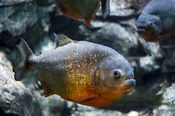 Although they have a reputation of being very aggressive, they are very sociable fish living in schools in the wild. Adult red-bellied piranhas tend to feed on worms, insects and other fish mostly at night and dawn, while juvenile feed during the day.