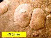 English: Petrocrania sp. brachiopods on a strophomenid brachiopod from the Upper Ordovician of southeastern Indiana.