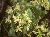 Pseudovanilla foliata, image taken in Warmare, Papua (Irian Jaya), Indonesia.