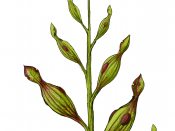 Archaeamphora longicervia is an extinct species of pitcher plant bearing close affinities to extant members of the family Sarraceniaceae. It was discovered in the Early Cretaceous Yixian Formation in northeastern China.[1]