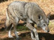 Red Wolf, captive specimen at