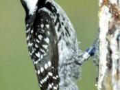 Red-cockaded Woodpecker , Picoides borealis, photograph