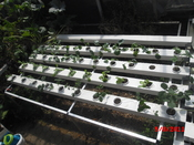 English: hydroponics plant 2