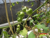 English: hydroponics plant 5