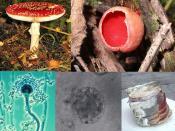 English: A series of fungi. Individual descriptions can be found on the source pages listed below. Русский: Разнообразие грибов. Отдельные описания см. на страницах изображений, перечисленных ниже.