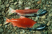 English: Male and female Sockeye salmon (Oncorhynchus nerka) specimens.