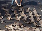 English: NOAA agent counting confiscated shark fins.