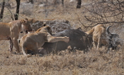 English: Four Lionesses take down a bull cape buffalo in the central Serengeti