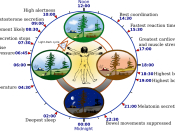 Overview of biological circadian clock in humans. Biological clock affects the daily rhythm of many physiological processes. This diagram depicts the circadian patterns typical of someone who rises early in morning, eats lunch around noon, and sleeps at n