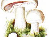 Rhizopus microsporus var. microsporus