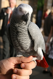English: Congo African Grey Parrot (Psittacus erithacus erithacus). Pet parrot held on a hand.
