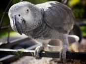 A pet adult Congo African Grey Parrot in Norway.