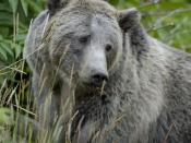Female grizzly bear in Yellowstone National Park in the United States