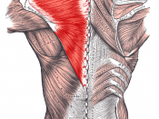 Muscles connecting the upper extremity to the vertebral column.