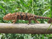 Oustalet's Chameleon, Ambalavao, Madagascar Français : Caméléon d'Oustalet (Furcifer oustaleti), Ambalavao, Madagascar