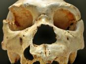 English: Cranium 5 is one of the most important discoveries in the Sima de los Huesos, Atapuerca (Spain). The mandible of this cranium appeared, nearly intact, some years after its find, close to the same location. Español: Cráneo número 5, uno de los des