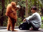 Orang utan and man at Bukit Lawang, Sumatra, Indonesia