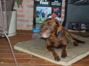 English: Picture of aging Chocolate Labrador