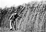 English: Screenshot of a hemp farm from Hemp for Victory.