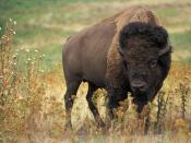English: Bison bison. Original caption:
