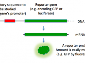 A diagram of a how a reporter gene is used to study a regulatory sequence.