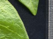 Leaf margins for comparison; Vinca minor above, Vinca major below; note hairless margin of V. minor, hairy margin of V. major.