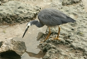 English: A White-faced Heron (Egretta novaehollandiae) on the foreshore of Cairns, Queensland, Australia.