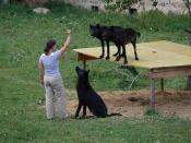 Eastern wolves at Wolf Science Center, Ernstbrunn, Lower Austria