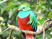 English: Resplendent Quetzal (Male)