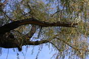 split willow branch