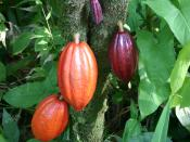 A cacao tree with fruit pods in various stages of ripening. Taken on the Big Island (Hawaii) in the botanical gardens.