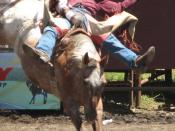 Bareback riding at the Russian River Rodeo, California